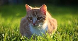 Znanstvenici dokazali da mačke razumiju fiziku